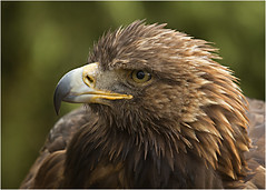 Golden Eagle photo by hisdream