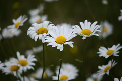 daisies photo by Lorrainec55
