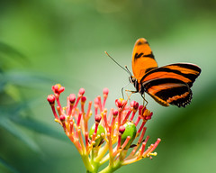 Banded Orange butterfly photo by qgrainne