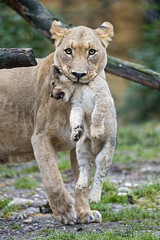 Lioness transporting her cub II photo by Tambako the Jaguar