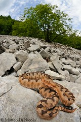 Horned viper (Vipera ammodytes). Red female in its natural habitat. Friuli, Italy. photo by Matteo Di Nicola