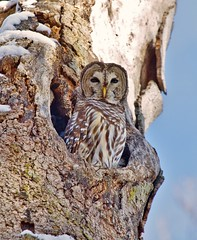 _MG_3138 Barred Owl photo by terrence.peck