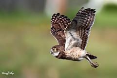 Improved : Burrowing Owl From Florida photo by tinyfishy (Home again)