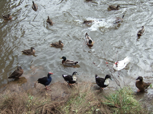 Ducks in NZ