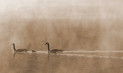 Canadian Geese on a Missouri Lake