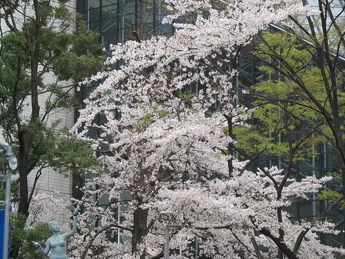 Trišnja u cvatu
