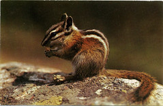 Postcard: Chipmunk, 1960s