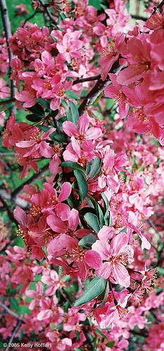 Pink Crab Apple Blossoms II