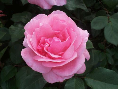 rose-ctr