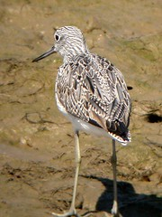 Greenshank, Quinta do Lago (Portugal), 15-Apr-06