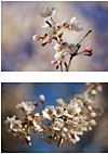 Cherry Blossoms, by Rob J with D70 + Nikkor 180mm f2.8 lens