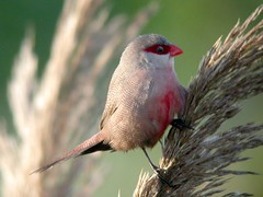 Common Waxbill, Barroca d'Alva (Portugal), 19-Apr-06