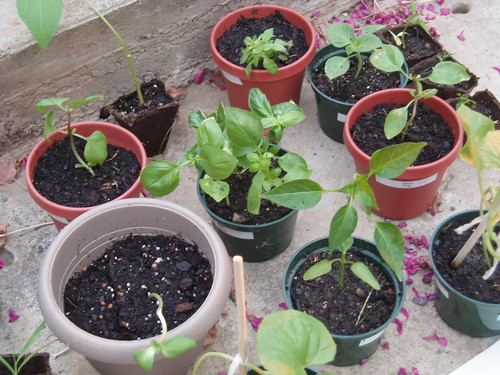 Seedlings from Sweet Basil