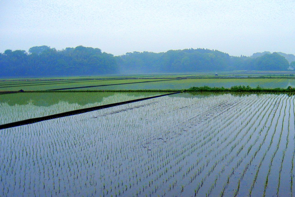 Rice field at dawn