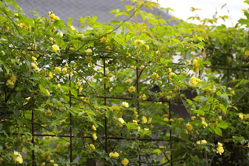 My garden's yellow.