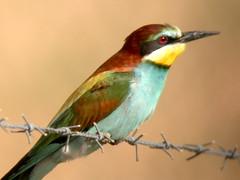 Bee-eater, E of Mourão (Spain), 21-Apr-06