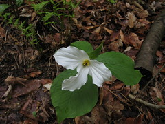 Trillium, Ontario's floral emblem