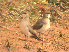 Collared Pratincole, Elvas (Portugal), 23-Apr-06