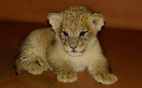 Cute little lion cub