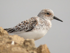 Sanderling, Castro Marim (Portugal), 26-Apr-06