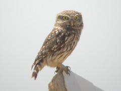 Little Owl, Azinhal (Portugal), 28-Apr-06
