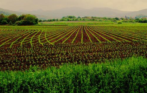 semis non OGM
