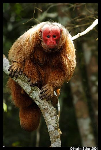 Huapo Rojo