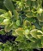 chlorotic_Gardenia.jpg