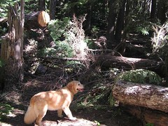 Sadie pondering the way to negotiate this down tree blocking the trail