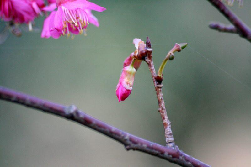有一些尚未綻放的花苞