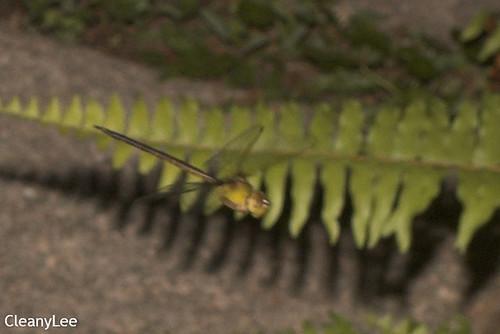 13125浡鋏晏蜓 Gynacantha bayadera 雌未熟?