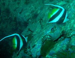 Pair of Bannerfish