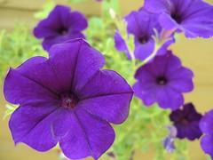 purple wavy petunia