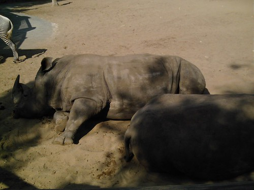 Rhinocéros ronflant !