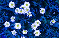 Night Daisies