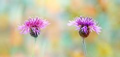 cornflowers photo by augustynbatko