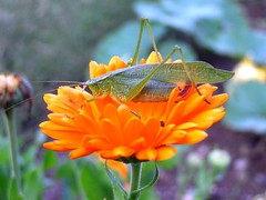Katydid & Flower photo by mudder_bbc