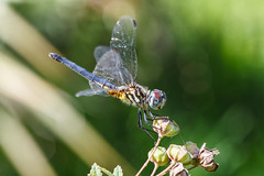 Blue Dasher Dragonfly (Explore 11/26/13) photo by Bob Decker