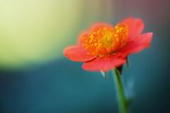 Orange Geum photo by j man.