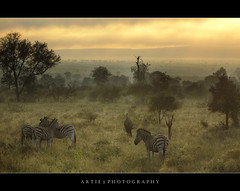 Misty Morning With the Zebras & Wildebeest, Kruger National Park, South Africa :: HDR photo by :: Artie | Photography ::