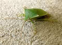 Feliz sabado animal! A green bug photo by ltimothy off/on
