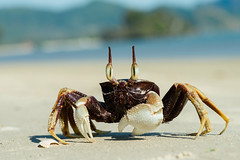 Ocypode ceratophthalma,  horned ghost crab - Krabi / Thailand photo by Rushen!
