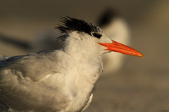 Royal Tern @ Treasure Island beach (Explored) photo by Marcel Tuit