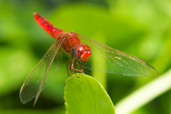 Scarlet Dragonfly with a smile photo by Dave Montreuil