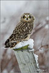 Short-eared Owl photo by Earl Reinink