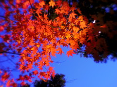 Blue sky and Red maple photo by usotuki