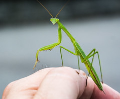 Manny the praying mantis (Explore) photo by Frank Oller