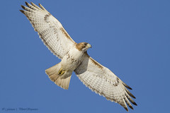 Red Tailed Hawk - At Richard W. DeKorte Park, Meadowlands, NJ photo by Photosequence