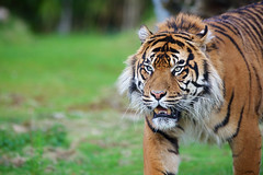 Sumatran Tiger photo by generalstussner