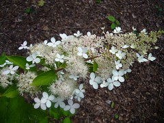 H. paniculata 'Grandiflora'